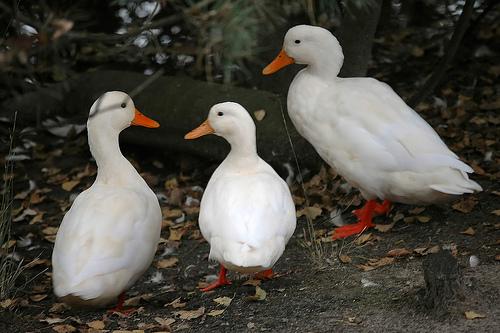 a set of three ducks